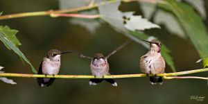 Hummers three by DGAnder