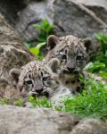 Snow Leopard Cubs 01 by filemanager