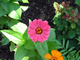 Vibrant Pink Zinnia Flower by Kitteh-Pawz