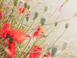 Poppies by autumn-I-equinox