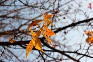 The maple leaves of autumn 2 by Sophie-Y