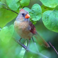 Kansas Breeding Female Cardinal by clippercarrillo