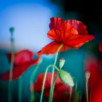 Morning poppies by marcopolo17