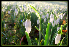 Snowdrops by Siobhan68