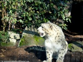 Snow leopard VII by Cansounofargentina