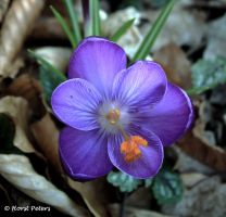 Violetter Krokus / Violette Crocuse by bluesgrass