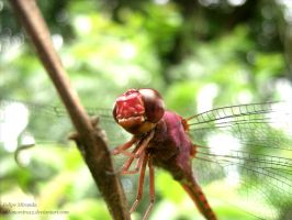Dragonfly by Cid-Moreira12