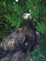 Young Bald Eagle 4 by Malakhite