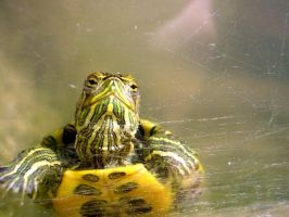 Curious Turtle by Maraskia