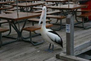 Another pelican by AndrewMcluckie