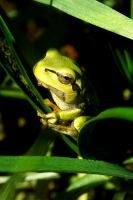 morning frog by Maaalii
