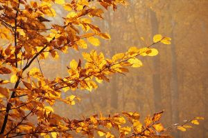 Autumn with hornbeam III by rosaarvensis