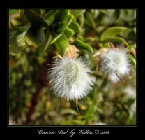 Creosote Pod  7939 by Eolhin