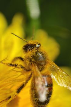 Pollinating bee by Not-very-social