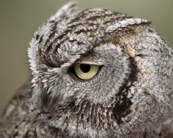 Western Screech Owl by papatheo