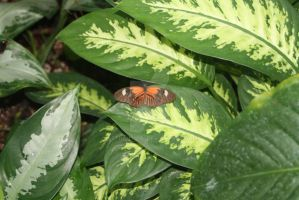 Orange and Brown Butterfly by AstronSoul