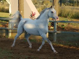 JA Arab grey big trot side on by Chunga-Stock