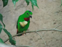 Blue Crowned Hanging Parrot by violent-obsession
