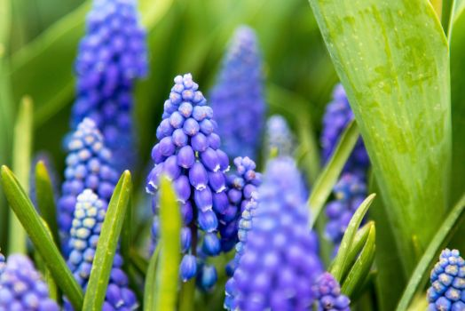 Grape Hyacinth by ringmale
