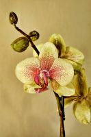 Orchid by mansaards