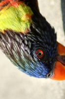 Hungry Lorikeet by Fohat
