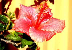 Hibiscus by Lani05