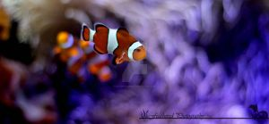 Found Nemo by FeatheredPhoto