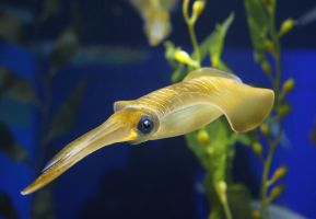 Squid at the Osaka aquarium by mkuegler