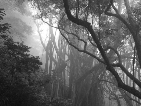 Banyan through the Fog by Aegithalos