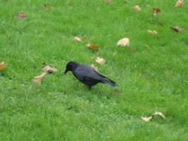 Crow 1 by en11-stock