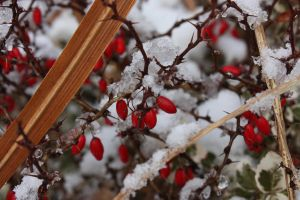 Berries in the Snow by dragonfanatic13