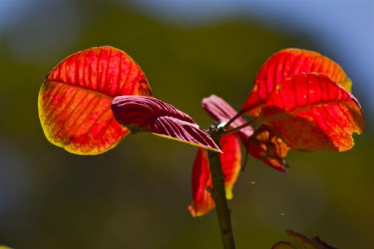 Red Leafs on The Wind by nathanpc