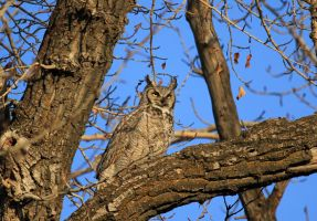 Great Horned Owl nest watching by sgt-slaughter