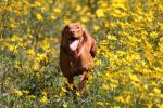 Happy Vizsla by LaurieSalzler
