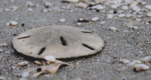 Summer Sand Dollar by Gwend-O-Ithilien