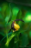 Lady's slipper by XavierJamonet