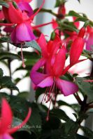 Fuchsia by spiti84