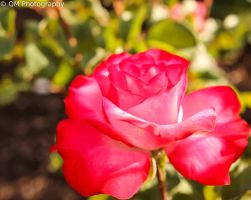 Deep Pink Ombre Rose by bobtheenchantedone
