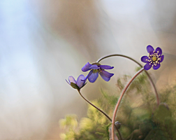 Spring flowers in the forest . by Sparvoga