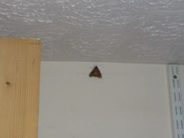 Large Yellow Underwing Moth Study Wall 1 by SrTw