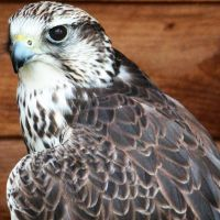 Saker Falcon 2 by Sketchy-raptor