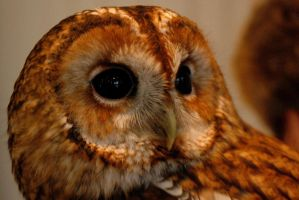 Star, the Tawny Owl by EarthHart