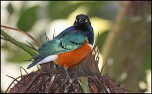 Superb Starling by AngelaLouwe