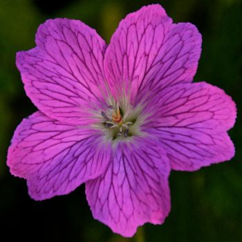 Flowers: Pink 5 by letTheColorsRumble