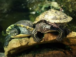 Two turtles by minimeany