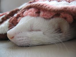 A Ferret Nap by AtticusKZ