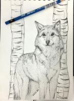 Wolf sketch by francis-john