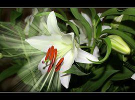 White Passion 4 by gors