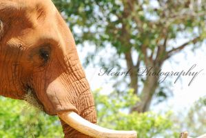 Elephant I by CaitrinXlXAnneliese