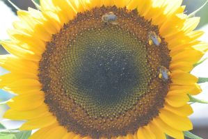 Pollen Station, Bees and Sunflower 4 by Miss-Tbones